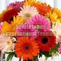 Fresh Gerbera Flower