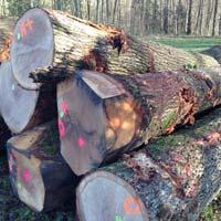 White Oak Log