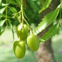 Neem Fruit