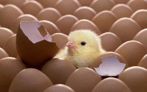 Eggs Suppliers, Manufacturers & Exporters UAE - ExportersIndia