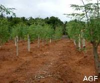 Pongamia Seeds