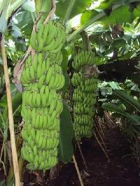 Tissue Cultured Banana Plants (g9)
