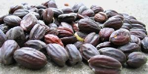 Jojoba Seeds, Jojoba Plant Seeds Import Price