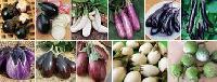 Aubergine Eggplant Brinjal