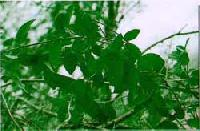 Gymnema Leaves