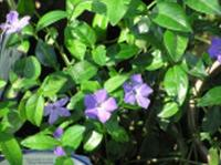 Vinca Leaves & Root