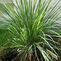 Lemongrass Aromatherapy Oil
