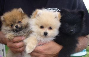 Toy Pom FEMALE Puppy