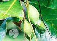 Terminalia Belerica Fruit