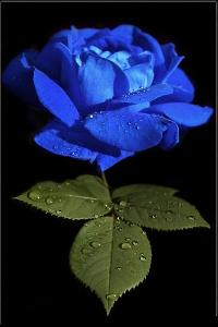 Fresh Blue Rose