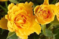 Fresh Yellow Rose