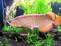 Chilli Red Arowana Fishes