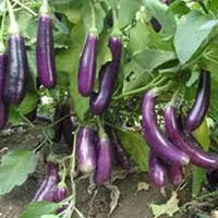 Brinjal Plants