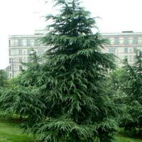 London Pine Plants