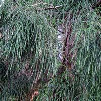Silver Pine Plants
