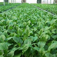 Gerbera Tissue Culture Plant