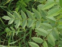 Mulethi Plant