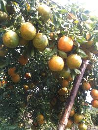 Orange From Manasa-rampura, Mp