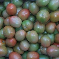 Export qlity Green Tomato
