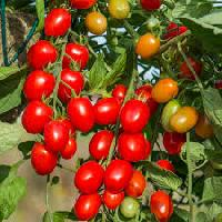 Hy Tomato Seed