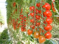Tomato Hy Seed