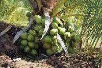 Coconut Hybrid Plant