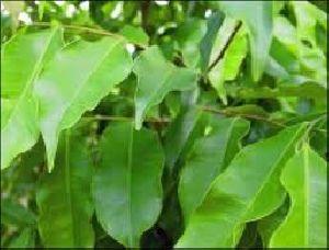 Agarwood Dry Extract