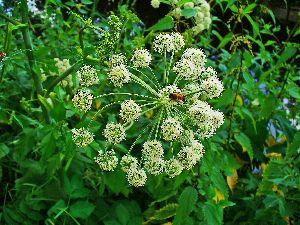 Angelica Dry Extract