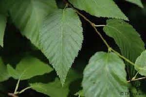 Birch Dry Extract