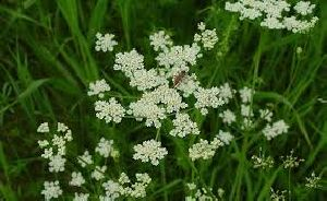 Caraway Dry Extract