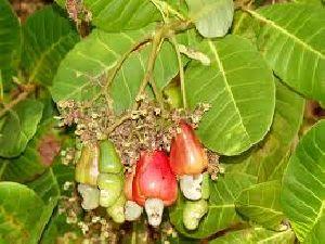 Cashew Nut Dry Extract