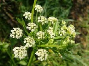 Celery Seed Dry Extract