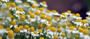 Chamomile Dry Extract