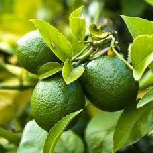 Lime Dry Extract