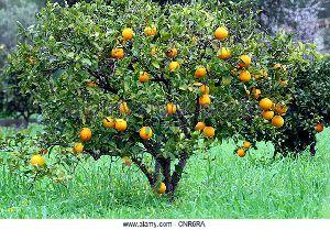 Orange Dry Extract