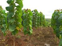 Hybrid Teak Plant