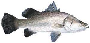 Fresh Barramundi Fish