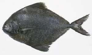 Fresh Black Pomfret Fish