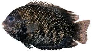 Fresh Pearl Spot Fish