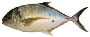 Fresh Trevally Fish