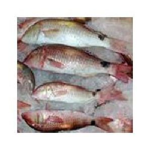 Fresh Red Mullet Fish