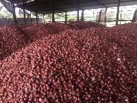 Fresh Onions 30mm -70mm+