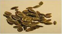 Dill Seeds (anethum Graveolens)