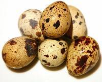 Fresh Quail Eggs Supplier