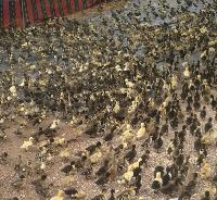 Live Duck Chicks