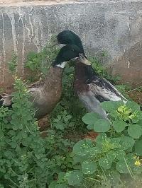 Live Ducks