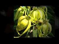 Sampangi Flower