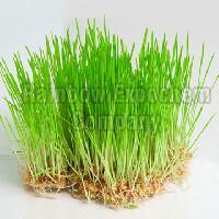 Fresh Wheatgrass
