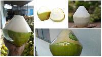 Half Trimmed Green Coconut