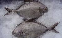 Frozen Black Pomfret Fish